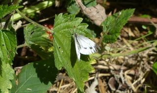 white wild butterfly on the green leaf