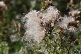 thistle seeds closeup