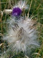 unusually beautiful thistle dry