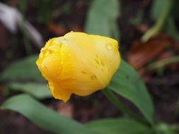 water drops on a yellow tulip