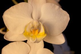 white ornamental plant orchid