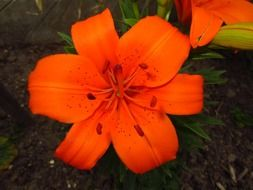 bright orange lily close up