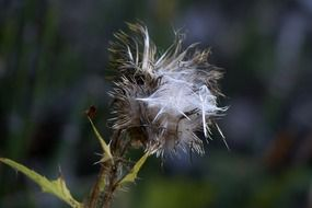 withered thistle closer view