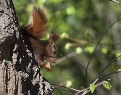 red fluffy squirrel on a tree in the forest