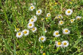 White daisy in green grass