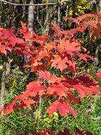 Red maple leaves on the tree in autumn