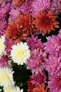 colorful chrysanthemums in a flower shop