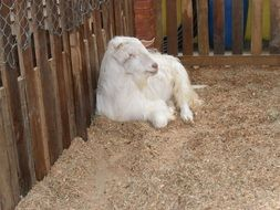white goat in a farm