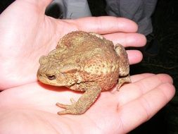 toad reptile nature