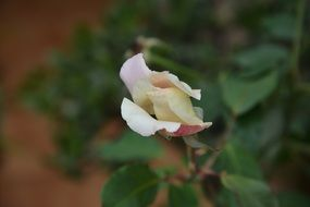 White flower rose plant button