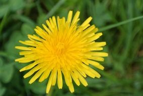 roadside yellow dandelion