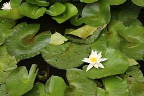 green leaves and white water lily