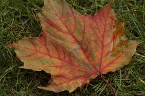 red maple leaf on the green grass