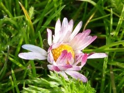 Picture of daisy flower in a grass