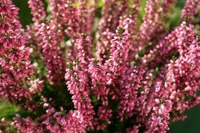 pink flowering heather