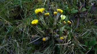 bush of coltsfoot with yellow flowers