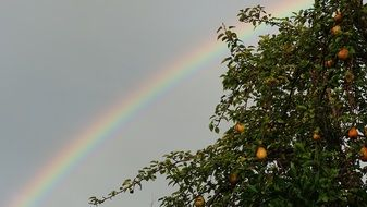 rainbow sky and pear tree scenery