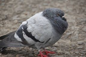 pigeon as a harbinger of weather
