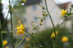 yellow flower on thin stems of a plant