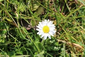 lonely white daisy among green grass
