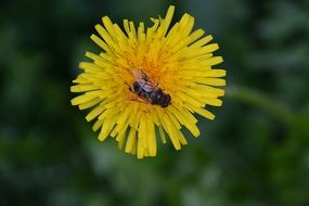 Bee on Yellow dandelion flower macro photo