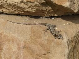 lizard on the rocks rocks