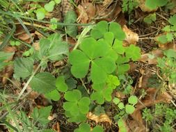 green leaves of clover among dry foliage