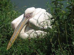 White pelican on the grass