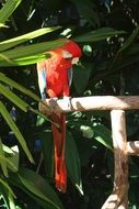 bright red parrot on leaves summer portrait