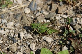 grasshopper on the ground