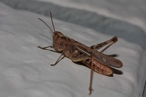 grasshopper insect closer view
