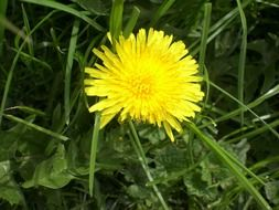 Yellow dandelion flower on a meadow