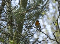robin perched on pine