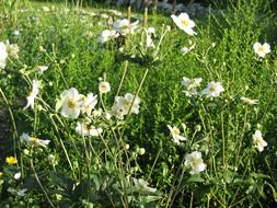 green meadow with white anemones