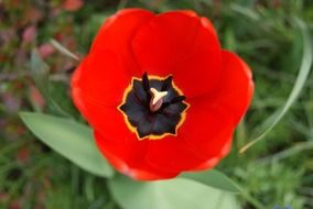 amazing tulip flower red and black color
