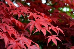 mountain maple red leaves closeup