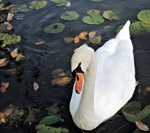 white swan in a flowering pond