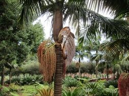 date palm in the tropics
