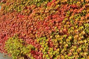 october colorful vine leaves