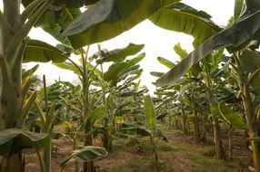 Thailand banana trees plantation