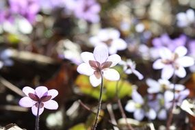 Hepatica is a genus of herbaceous perennials