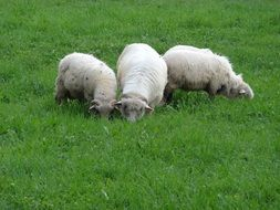 white sheep on green grass