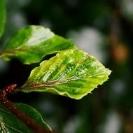 new beech leaves with rain drops