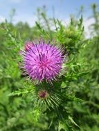 blooming spiny plumeless thistle