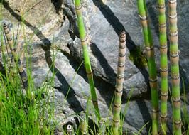 scouring rush horsetails outdoor
