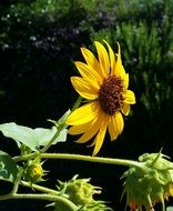 sunflower native plant