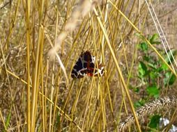 bright dark butterfly in dry tall grass