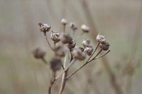dry inflorescences on a blurry background