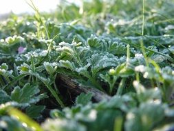 frozen spring grass