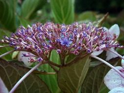purple hydrangea in a greenhouse